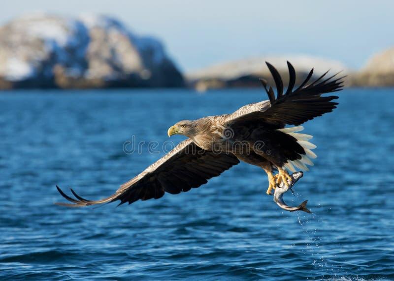 白被盯梢的海鹰Haliaeetus albicilla 免版税库存照片