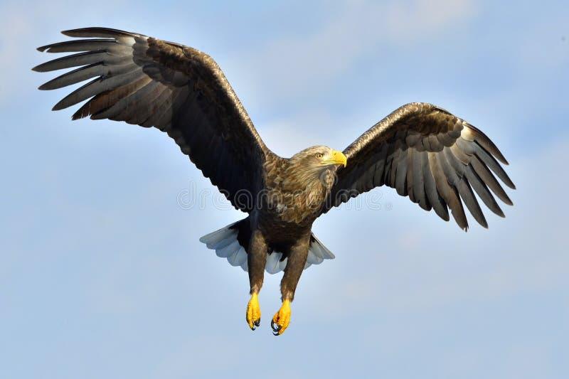 白被盯梢的老鹰在飞行中,钓鱼 成人白盯梢了老鹰Haliaeetus albicilla,亦称ern, erne,灰色老鹰, E 免版税库存图片