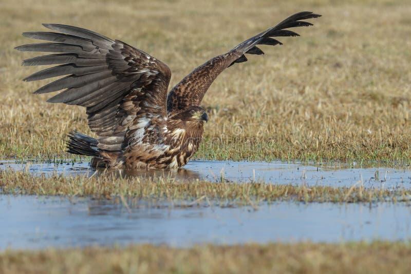 白被盯梢的老鹰沐浴 免版税库存照片