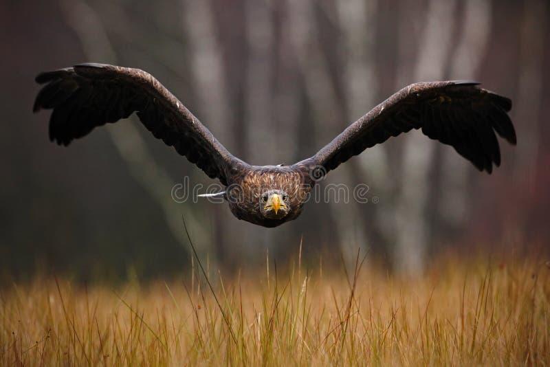 白被盯梢的老鹰, Haliaeetus albicilla,面孔飞行,鸷与森林的在背景,动物在自然栖所, wildl中 免版税库存照片