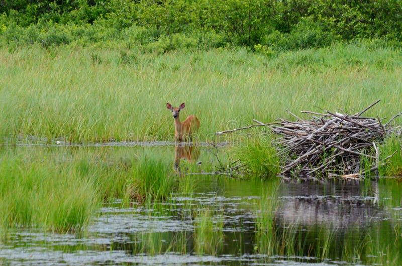 白被盯梢的鹿在沼泽地 库存照片