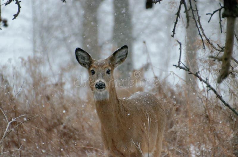 白被盯梢的鹿-安大略,加拿大 库存图片