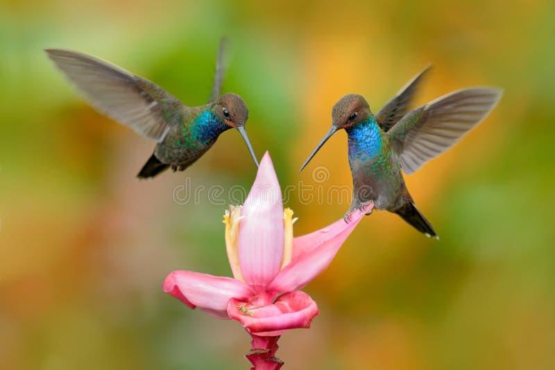 白被盯梢的Hillstar, Urochroa bougueri,两只蜂鸟在飞行中在砰花,绿色和黄色背景,两哺养 免版税库存照片