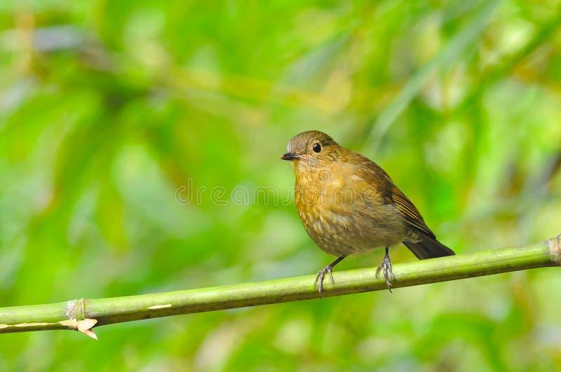 白被盯梢的Robin鸟 库存图片