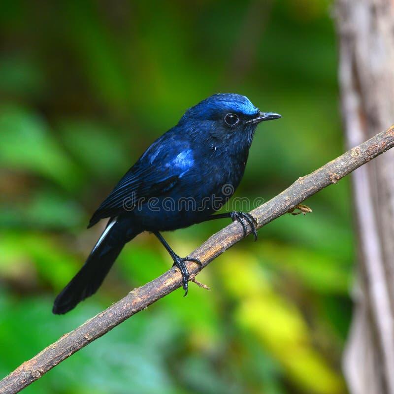 白被盯梢的Robin鸟 免版税库存图片