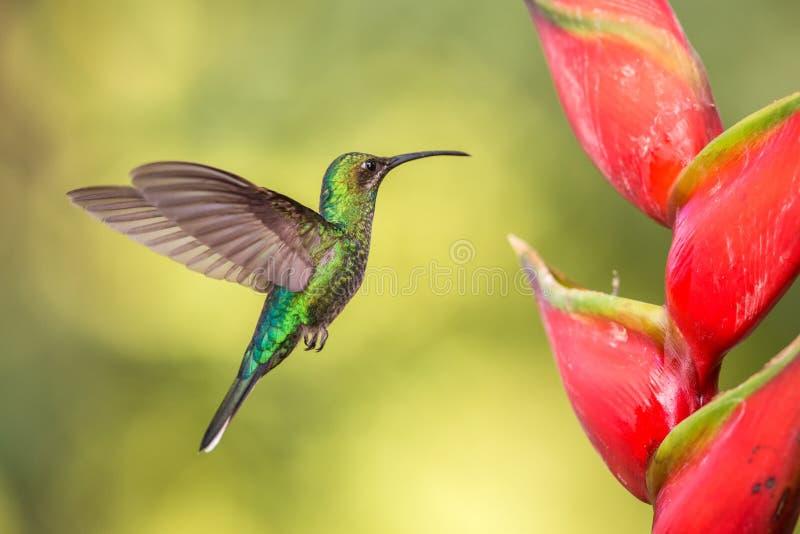 白被盯梢的sabrewing的盘旋在桃红色含羞草花,在飞行中鸟旁边,caribean热带森林,特立尼达和多巴哥 免版税图库摄影