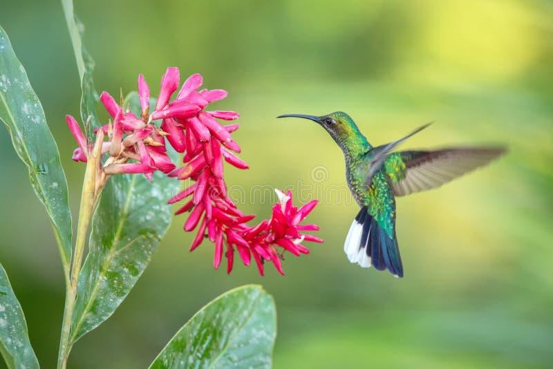 白被盯梢的sabrewing的盘旋在桃红色花,在飞行中鸟旁边,caribean热带森林,特立尼达和多巴哥 图库摄影