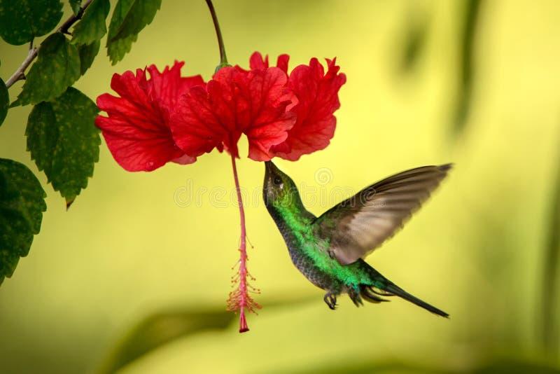 白被盯梢的sabrewing的盘旋在红色ibiscus花,在飞行中鸟旁边,caribean热带森林,特立尼达和多巴哥 免版税图库摄影
