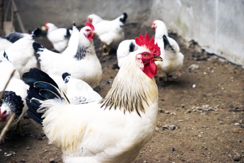 黑白雄鸡 免版税库存照片