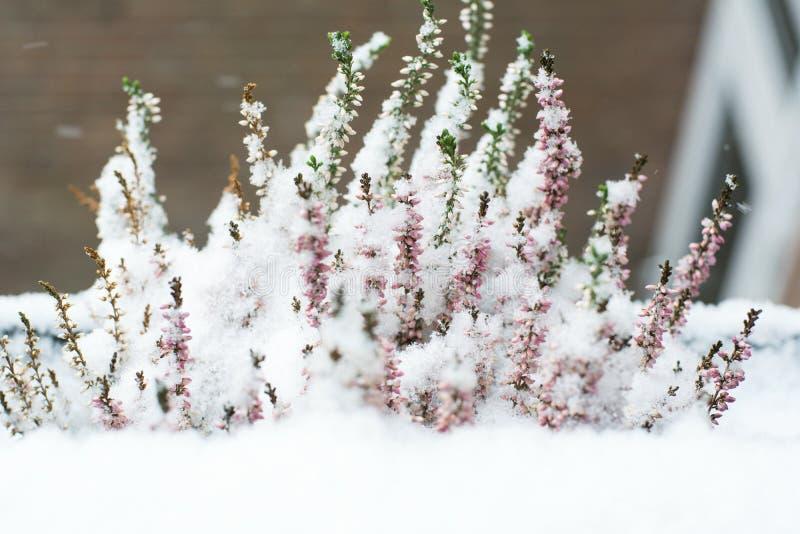 白雪中美丽的薰衣草 免版税库存图片