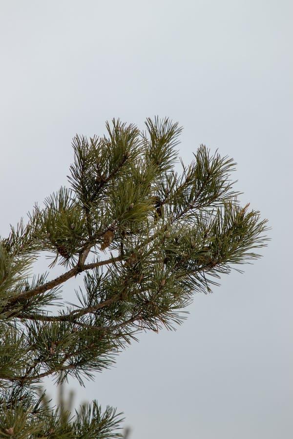 白雪覆盖的俄罗斯冬季森林 库存图片