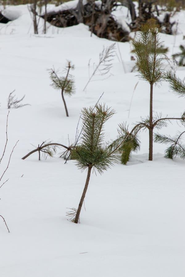 白雪覆盖的俄罗斯冬季森林 免版税库存照片