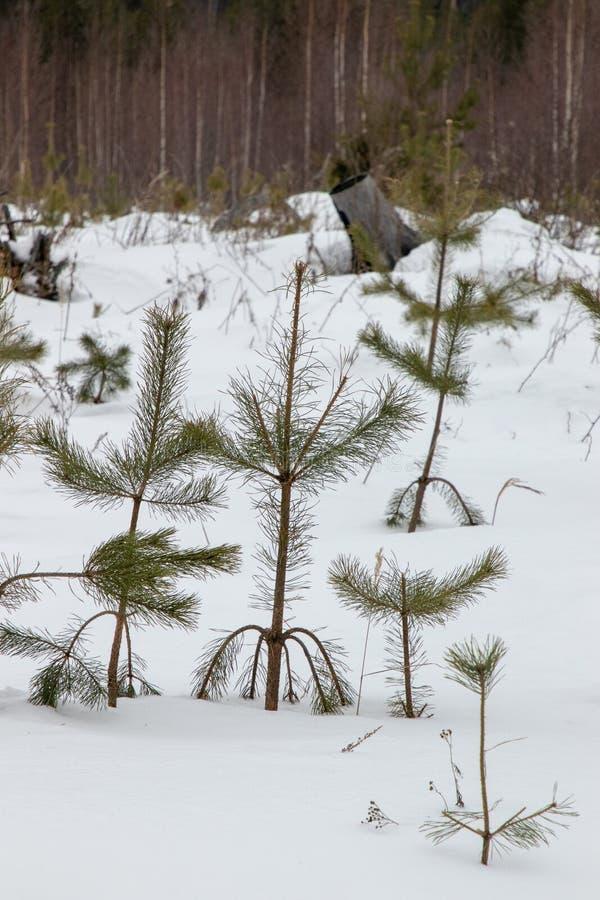白雪覆盖的俄罗斯冬季森林 免版税库存图片