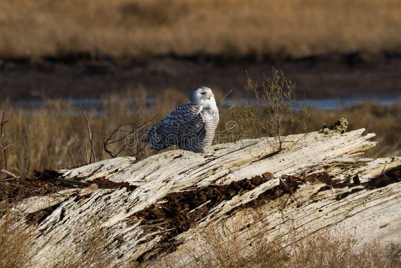 白雪鸮 免版税库存照片