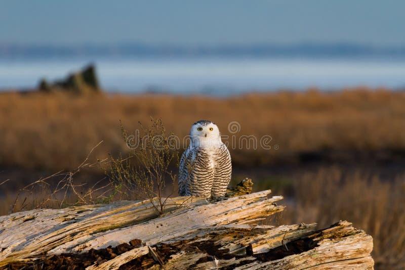 白雪鸮 免版税图库摄影