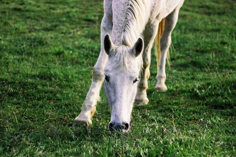 白马在一个绿色草甸,春天吃草 免版税库存图片