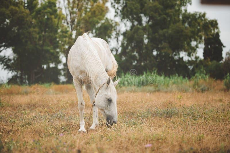 白马在草地吃草 库存图片