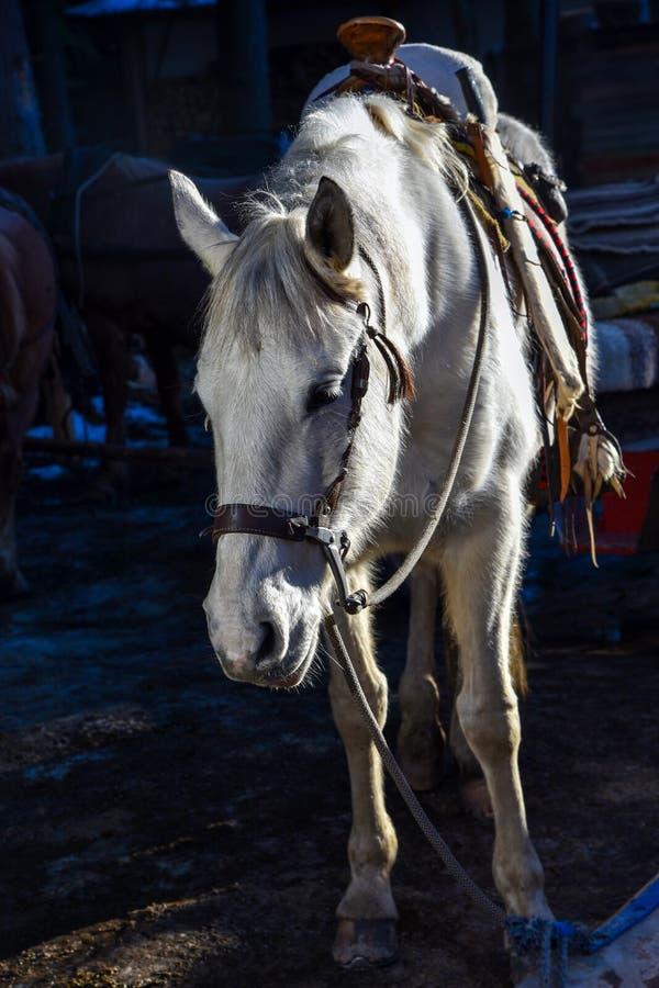 白马头像在黑暗的背景的冬天本质上 免版税库存照片