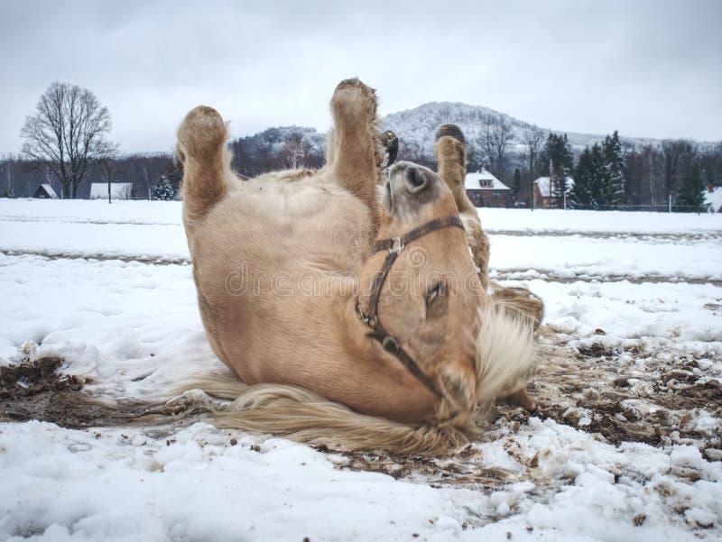 白马,当滚动在新鲜的雪时 免版税库存照片