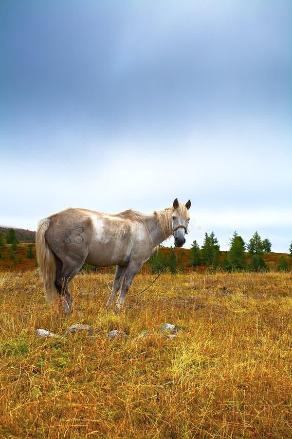 白马,草甸,秋天,早晨 免版税库存图片