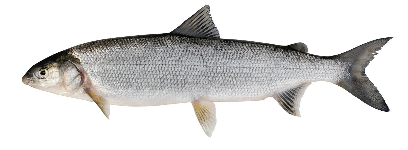 白鲑(Coregonus lavaretus) 免版税图库摄影