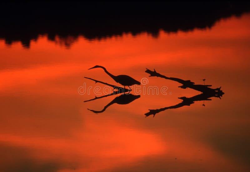 白鹭反射 免版税图库摄影