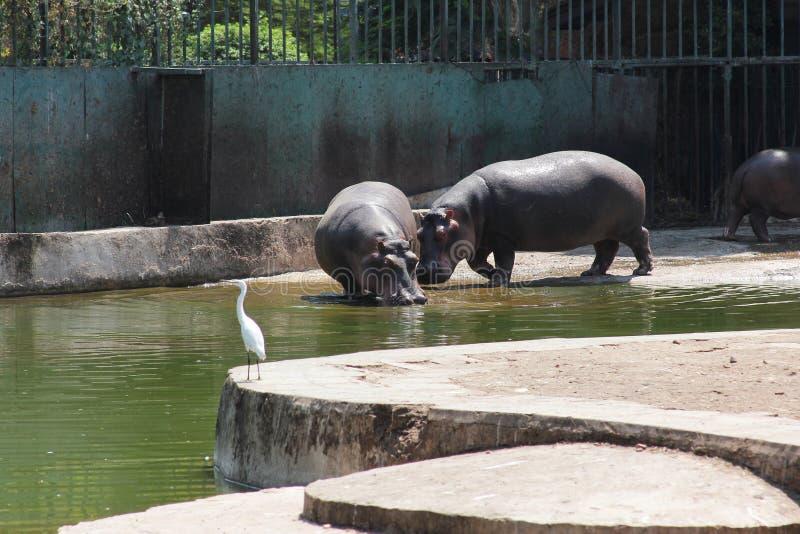 Download 白鹭和河马 库存照片. 图片 包括有 白鹭, 敌意, 野生生物, 投反对票, 巨大, 闹事, 动物园, 哺乳动物 - 59105070