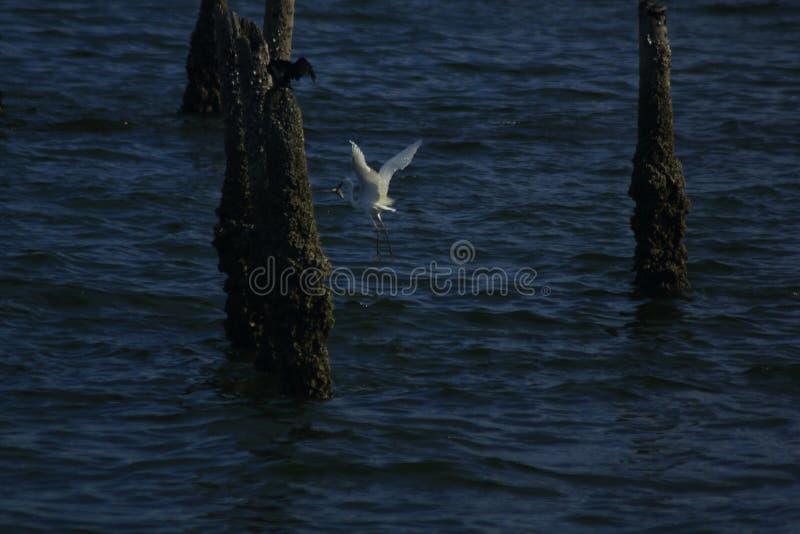 白鹭在水中抓鱼 库存照片