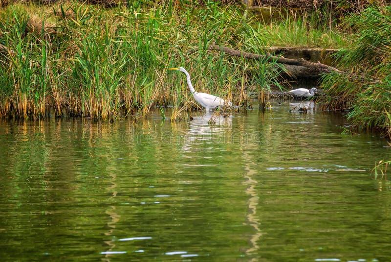 白鹭在Ropotamo河 免版税图库摄影