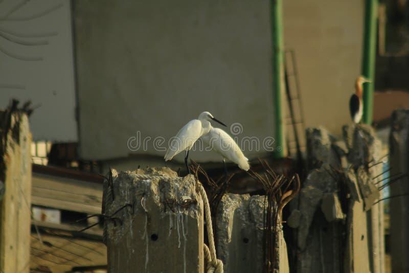 白鹭属garzetta本质上是容易发现 库存照片