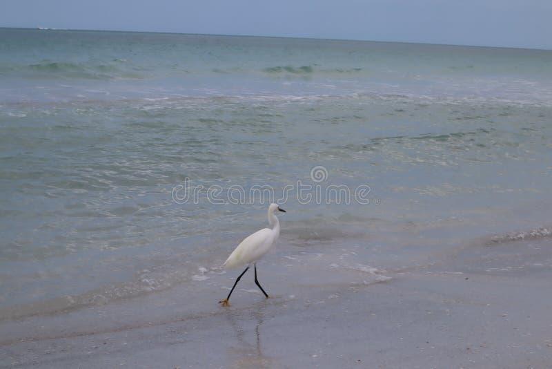 白鹭属garzetta 小白鹭身分在水中,寻找与软,温暖的夏天下午的食物在沼泽地 印度大鹏 免版税库存照片