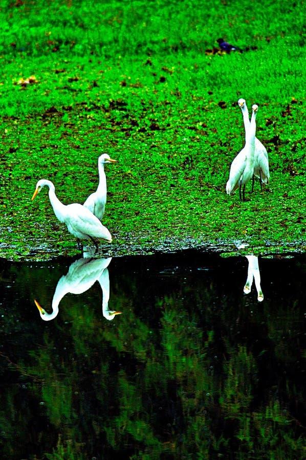 白鹭的水镜子图象 免版税库存图片
