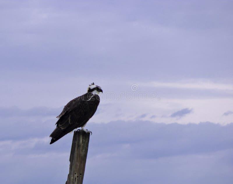 白鹭的羽毛也叫了海鹰、河鹰和鹗 免版税库存图片