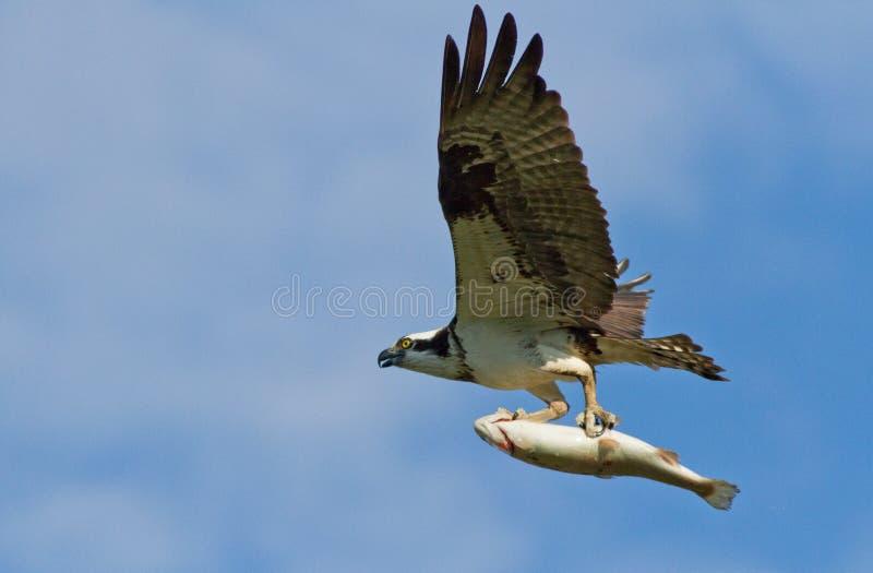 白鹭的羽毛和鳟鱼 库存照片