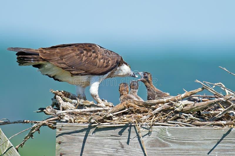 白鹭的羽毛哺养 免版税图库摄影