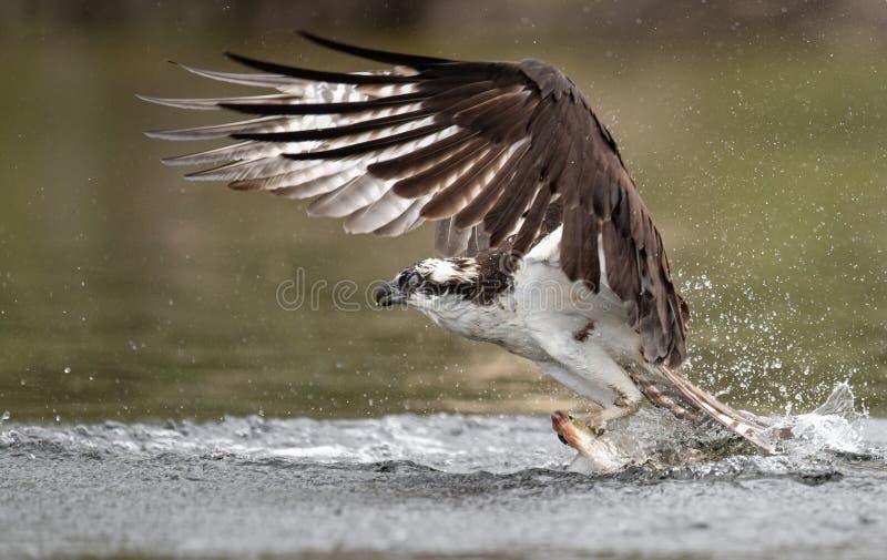 白鹭的羽毛在缅因 库存图片
