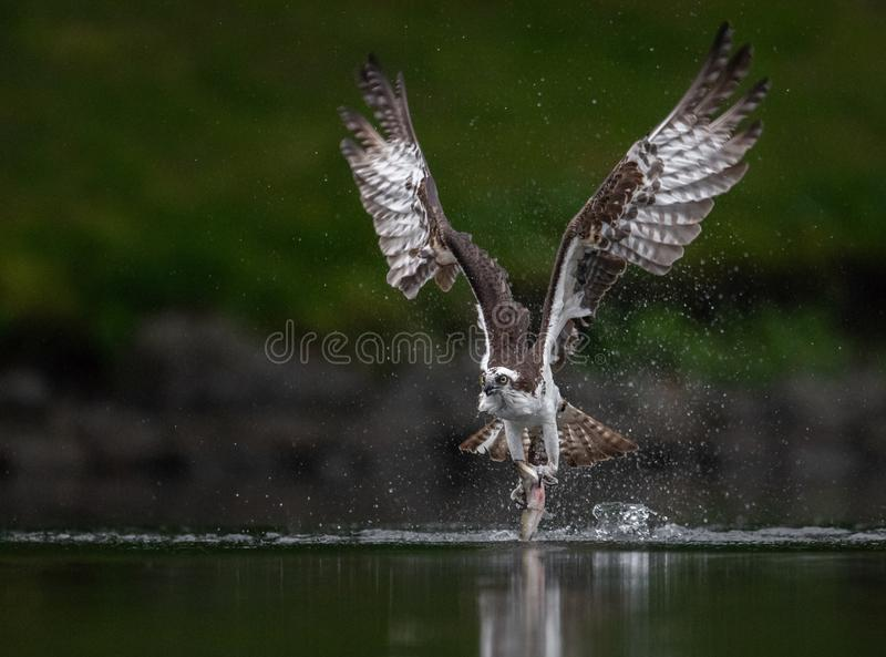 白鹭的羽毛在缅因 图库摄影