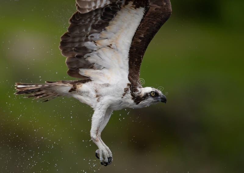 白鹭的羽毛在缅因 免版税图库摄影