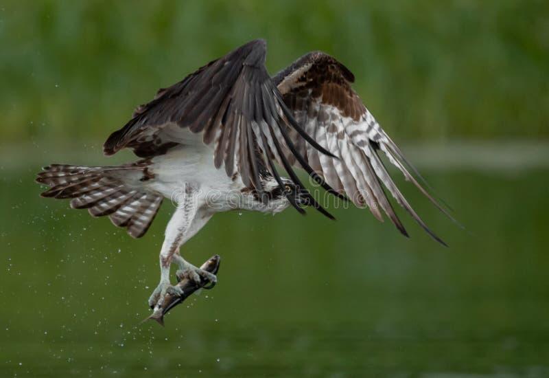 白鹭的羽毛在缅因 免版税库存照片