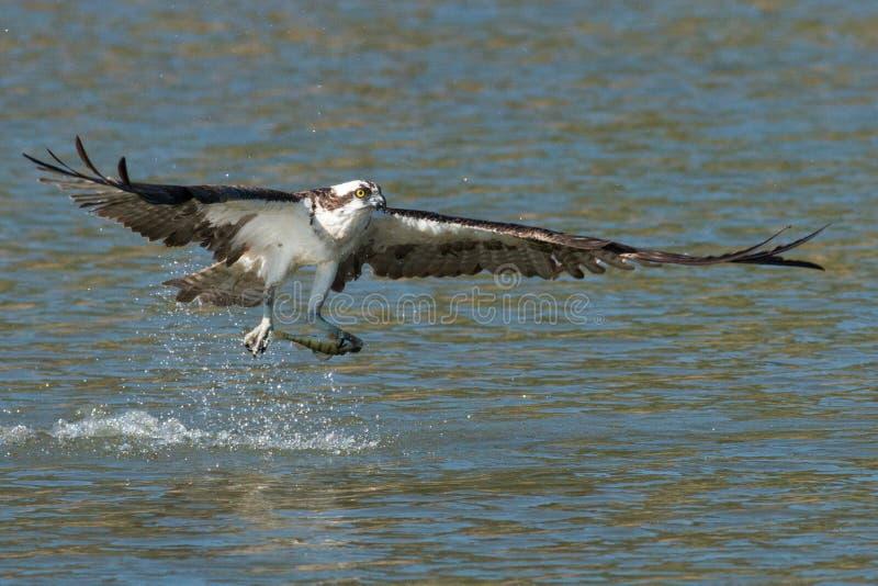 白鹭的羽毛抓从湖的一条鱼并且掌握它在他的爪 免版税库存照片