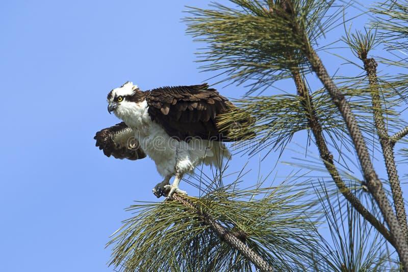 白鹭的羽毛振翼它的在树的翼 库存图片