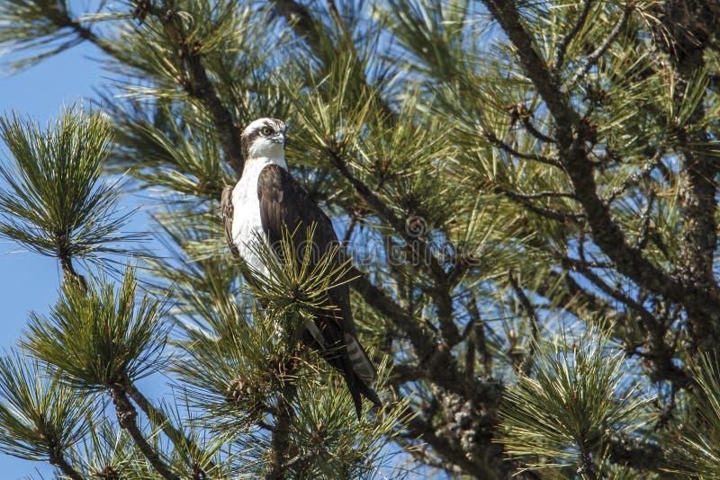 白鹭的羽毛栖息结构树 免版税图库摄影