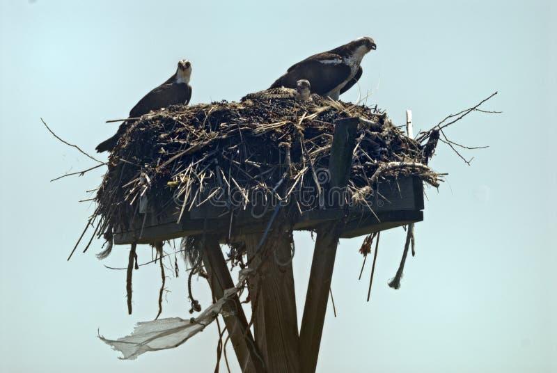 白鹭的羽毛母亲和父亲有他们的婴孩的 免版税库存照片