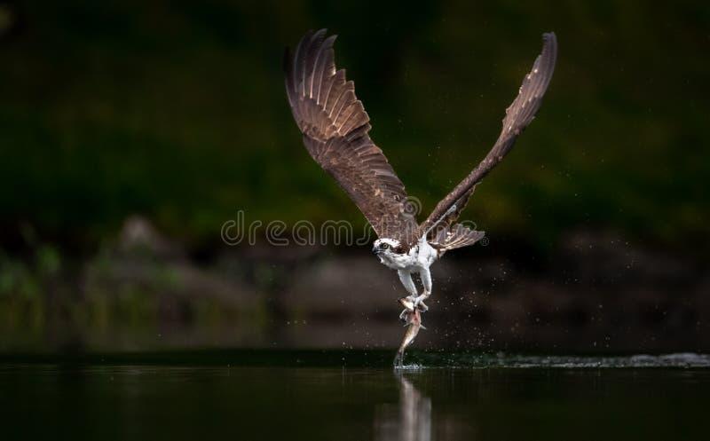 白鹭的羽毛渔在缅因 免版税库存照片