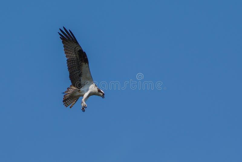 白鹭的羽毛狩猎 库存图片