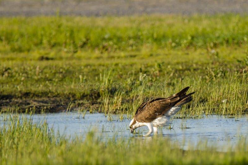 白鹭的羽毛饮用水在沼泽 库存照片
