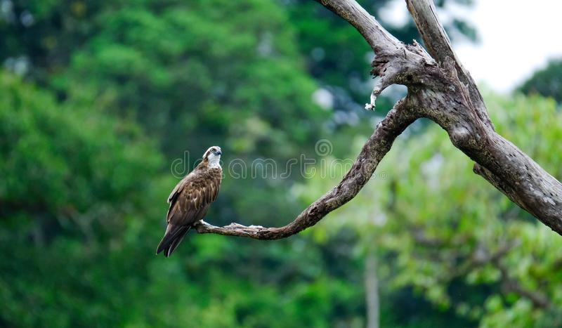白鹭的羽毛,海鹰,在南部的鱼鹰泰国 免版税库存图片