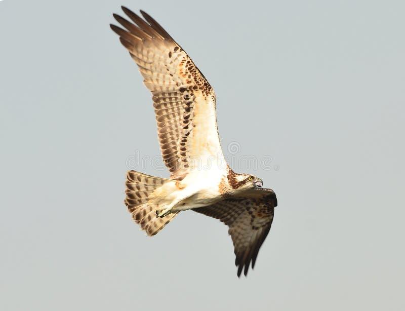 白鹭的羽毛,海鹰,鱼鹰 库存照片