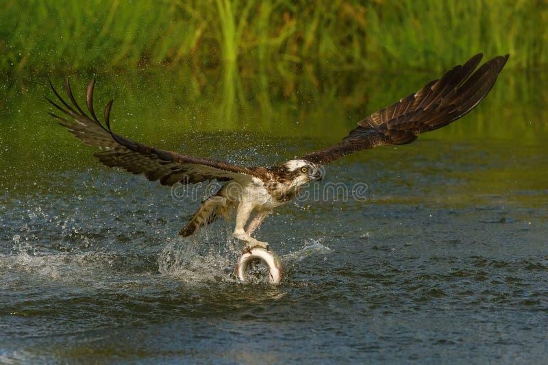 白鹭的羽毛,Pandion haliaetus抓了鱼 图库摄影