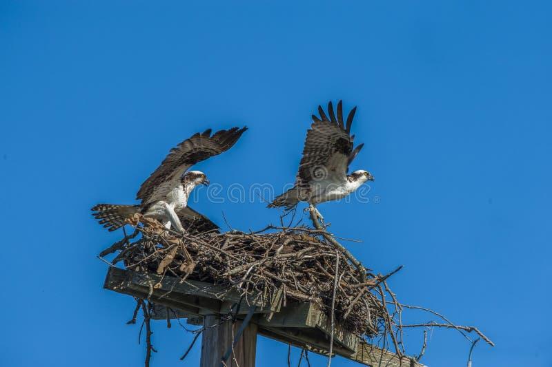 白鹭的羽毛4584 免版税库存照片